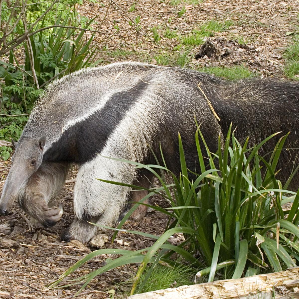 Fourmillier géant (Juanita profil) - zoo des Sables- SSilhol
