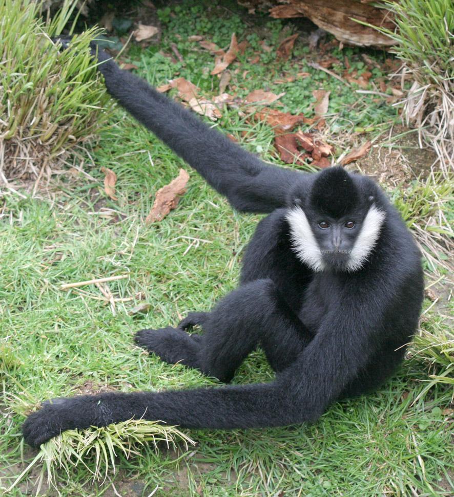 Gibbon à favoris blancs2