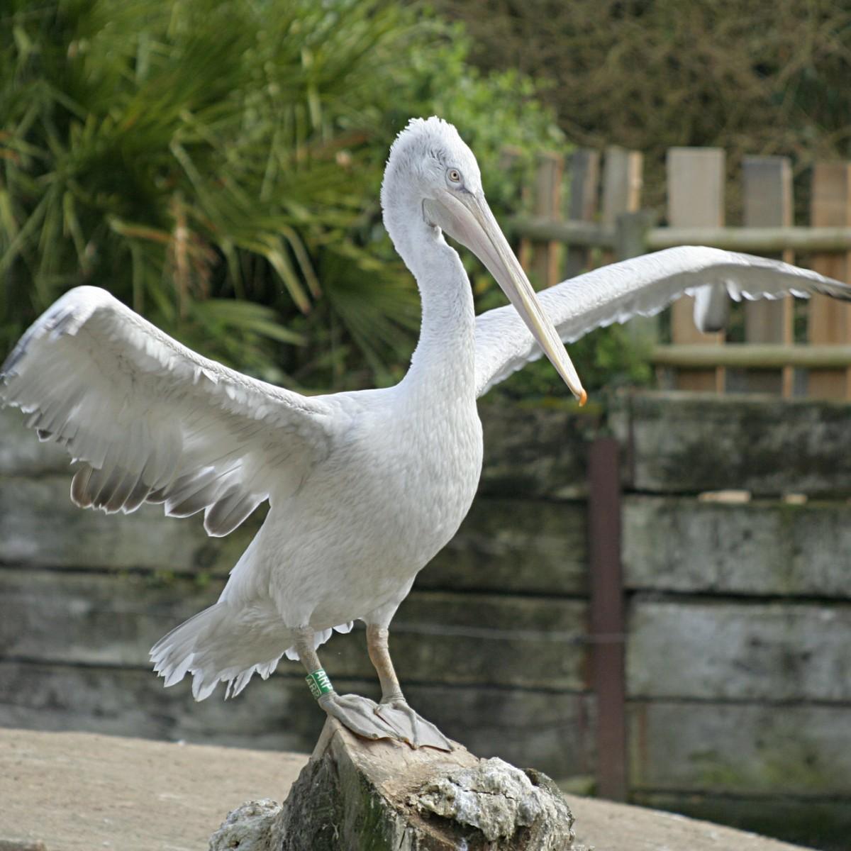 Pélican frisé ailes déployées - SSilhol - Zoo des Sables2