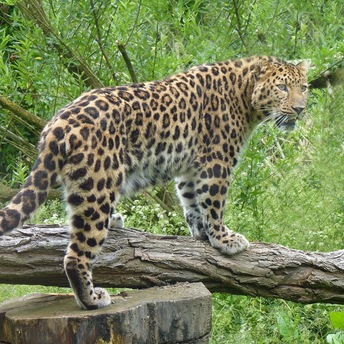 Panthere de l'Amour Demitri - SSilhol - Zoo des Sables2
