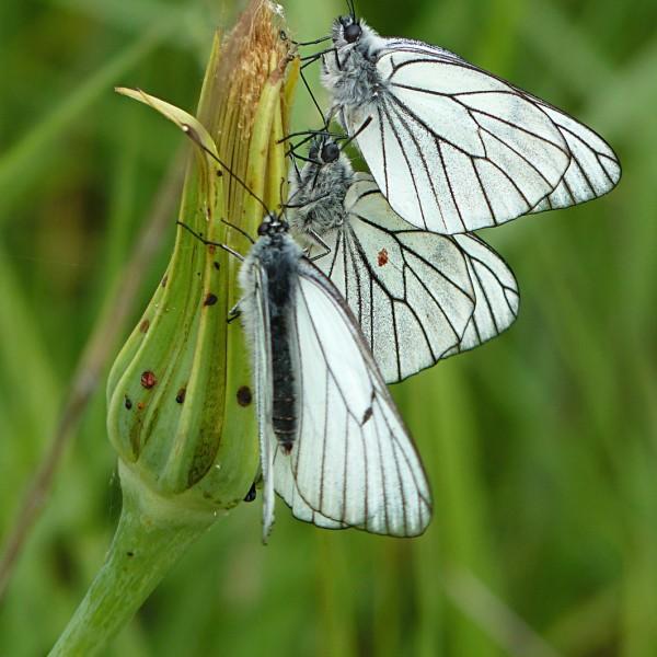 Papillons Gazés (3) - ZSO - SSilhol