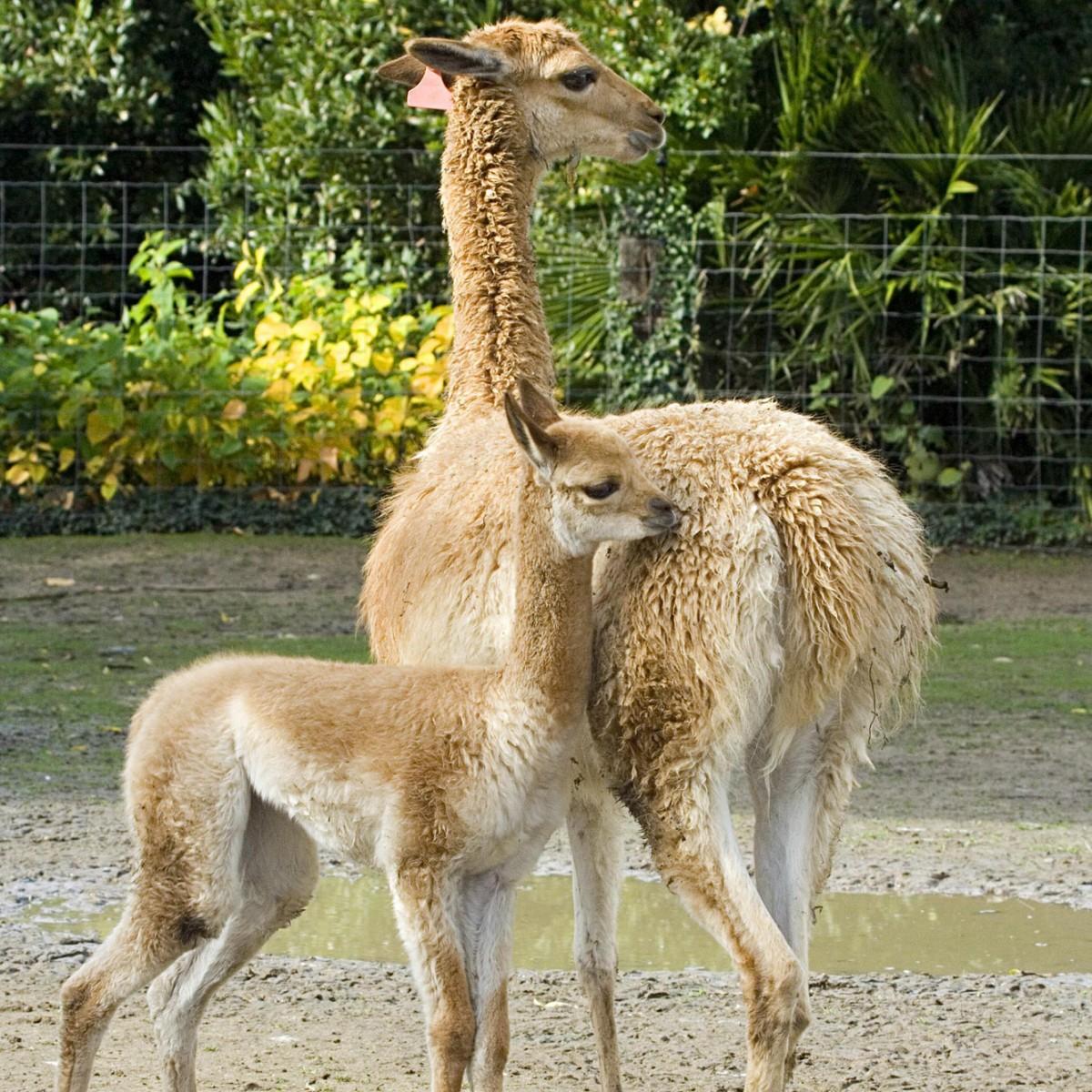 Vigogne A (mère et jeune) - Zoo des Sables - S Silhol2