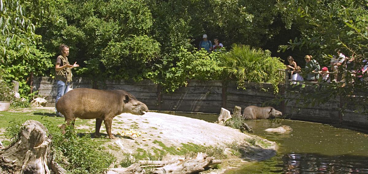 animations-tapirs