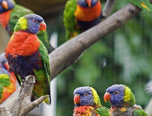 13 rainbow lorikeets