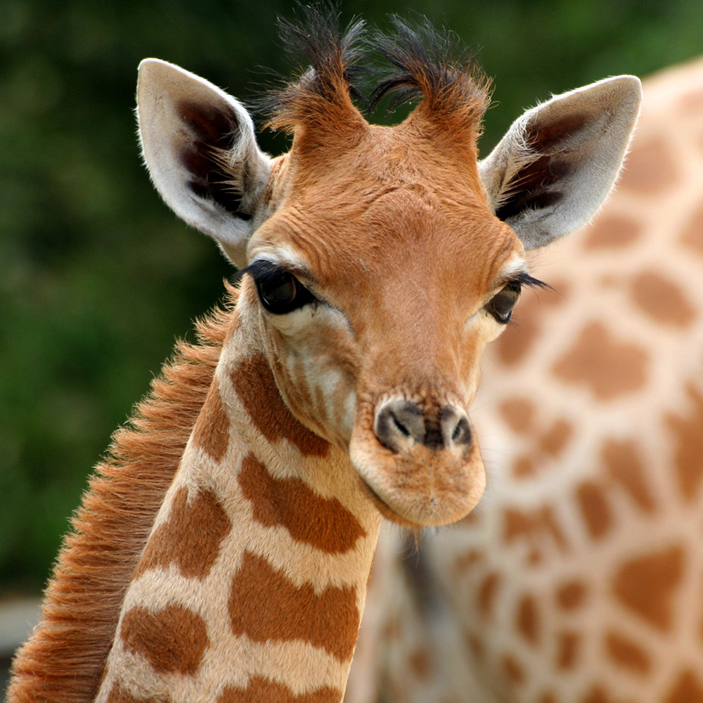 Kodadde une girafe de kordofan zoo des sables d 39 olonne for Prix d une girafe a poncer