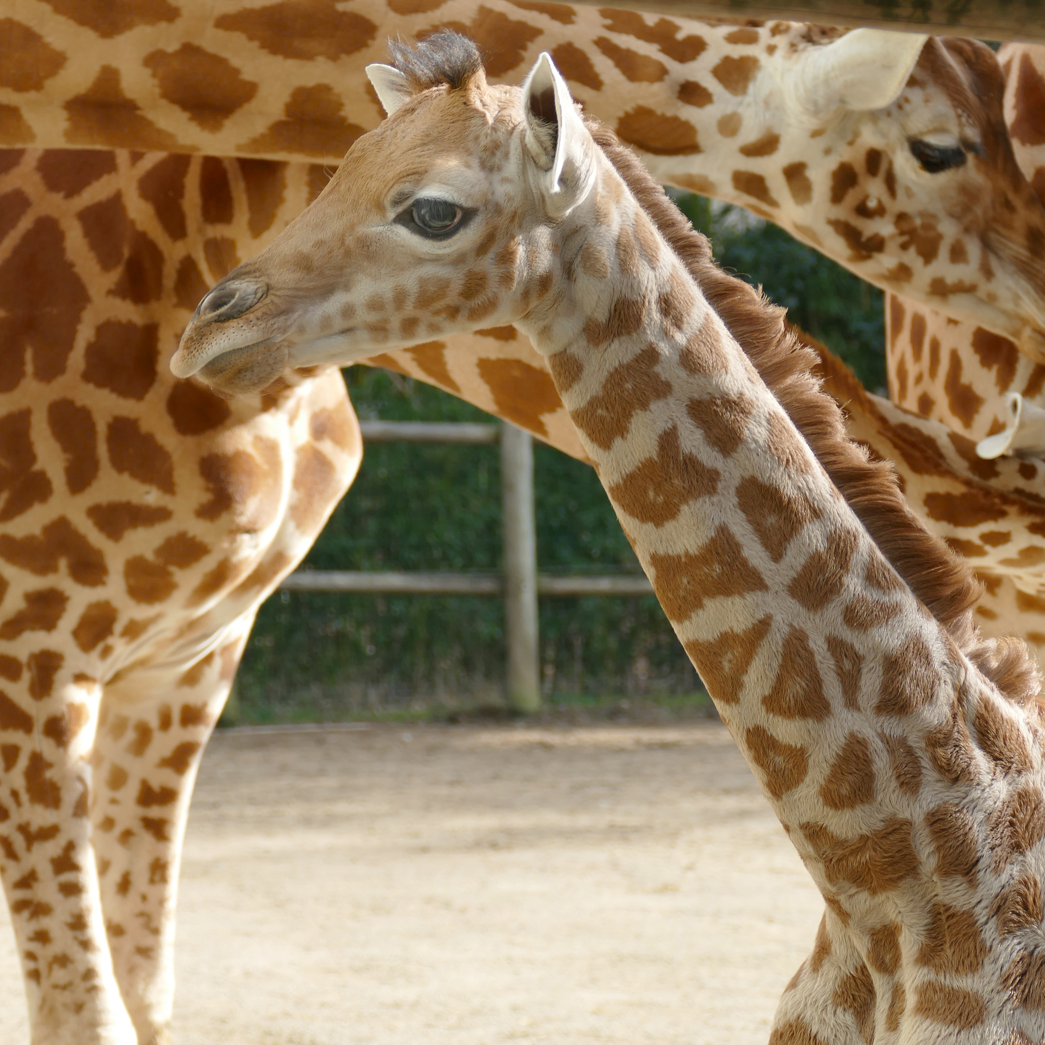 MOUNDOU, a Kordofan giraffe