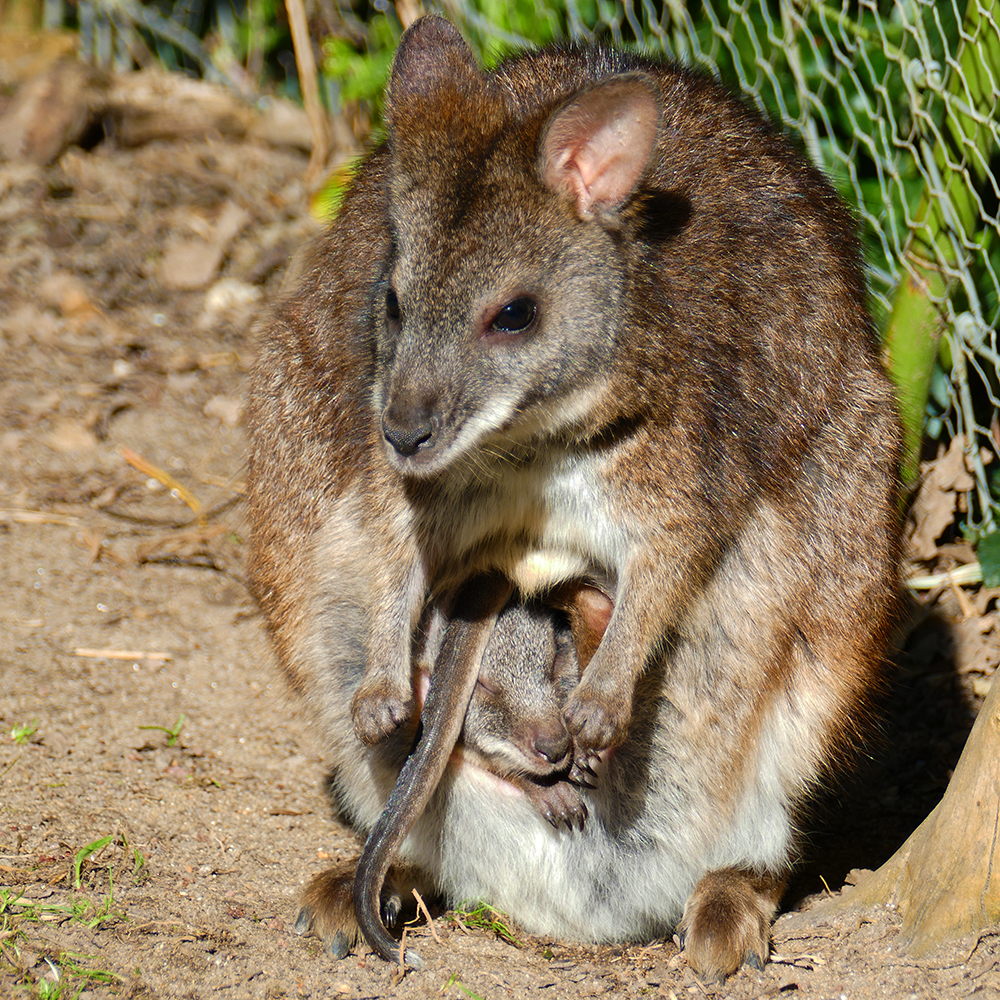 One Parma wallaby