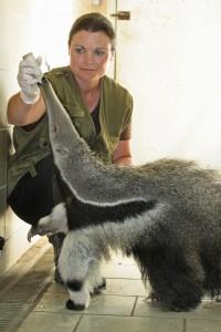 Fourmilier géant nourrissage jeune  - Zoo des Sables - SSilhol