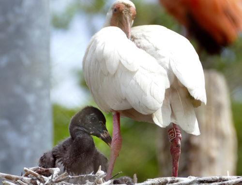 Un ibis blanc et un ibis rouge