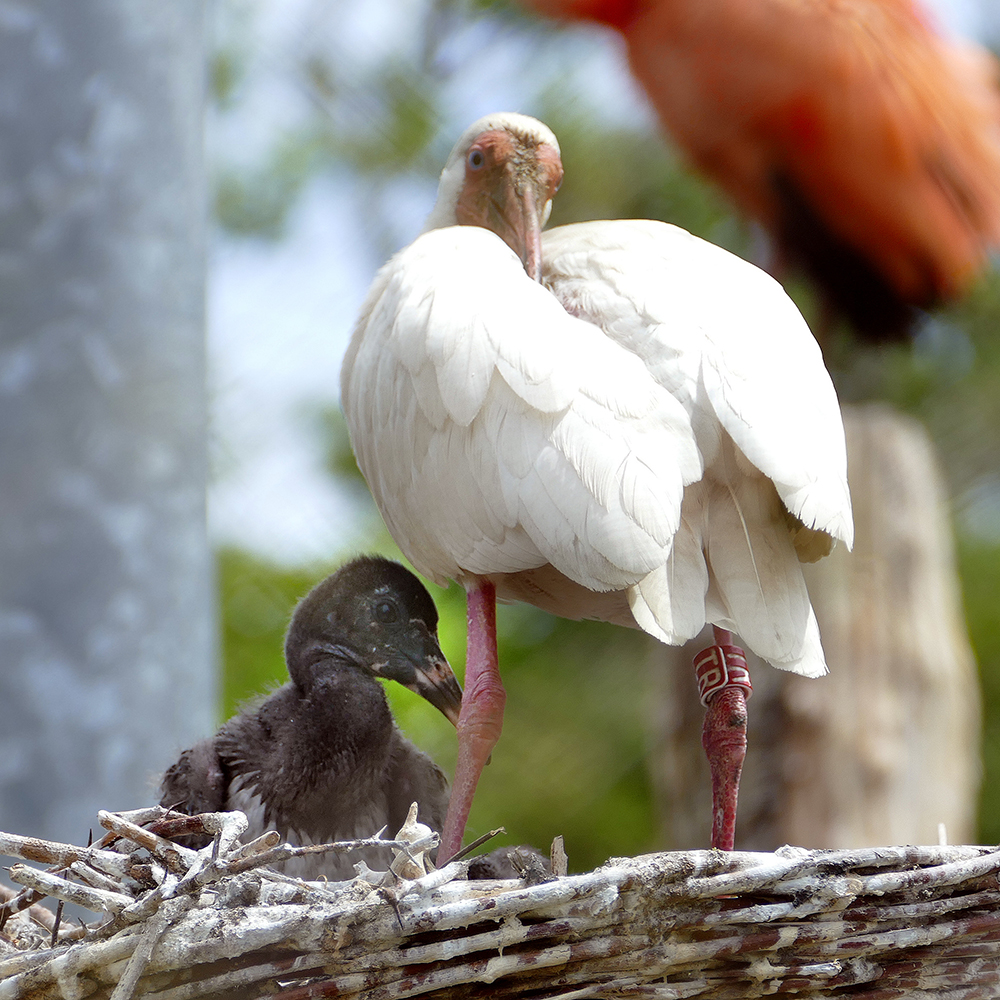 One white ibis and one red ibis