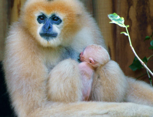 Hati, un gibbon à favoris blancs