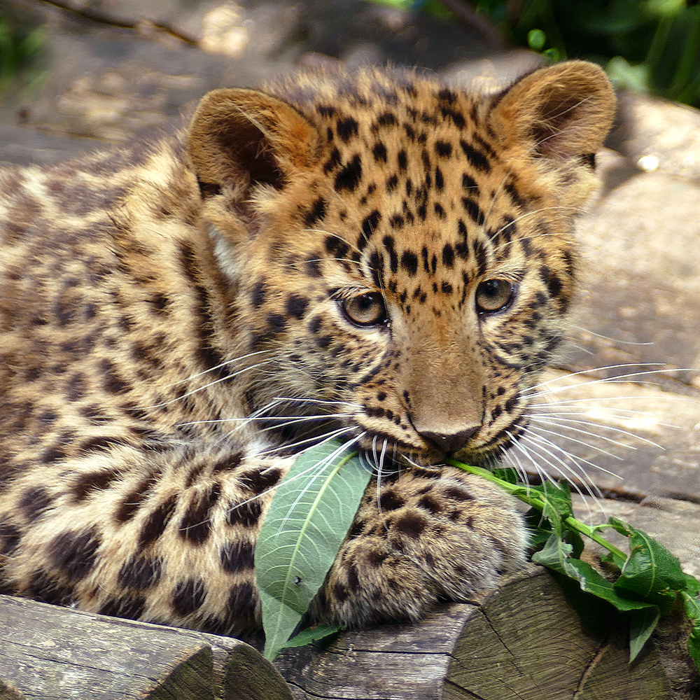 ARGUN and ZEYA, two Amur leopards