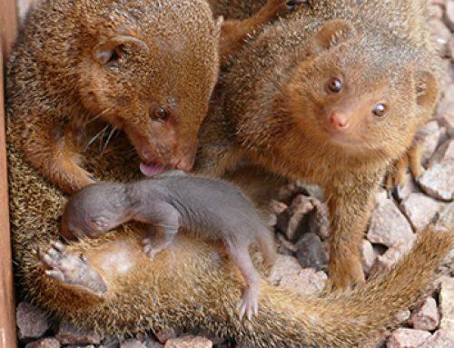 Four dwarf mangooses