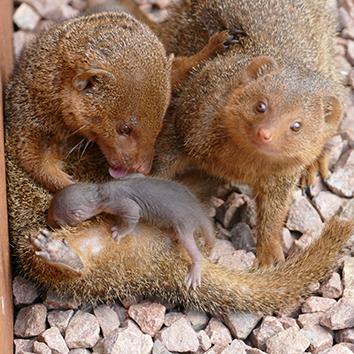 4 mangoustes naines