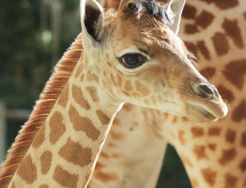 Yoruba, a Kordofan giraffe