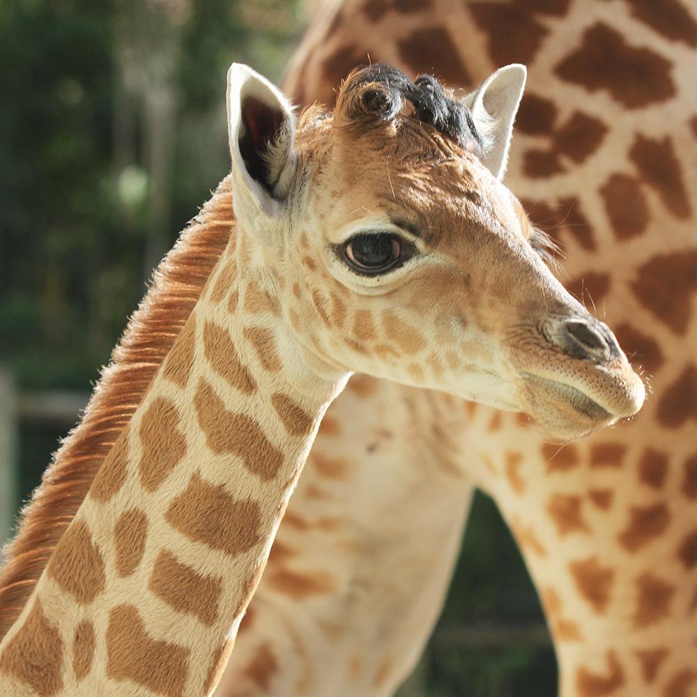 Yoruba, une girafe de Kordofan