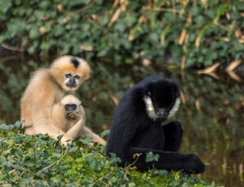 DES NOUVELLES de nos gibbons….