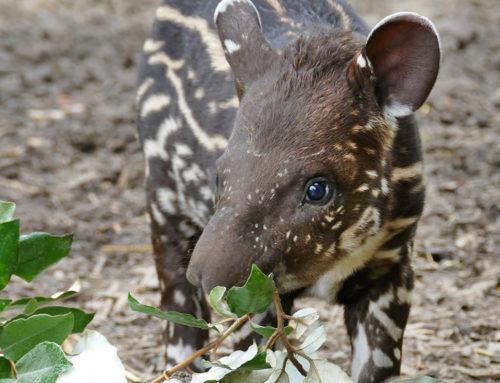 TIKUNA, a lowland tapir