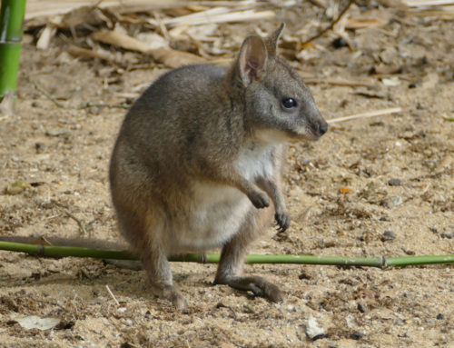 Un wallaby de Parma
