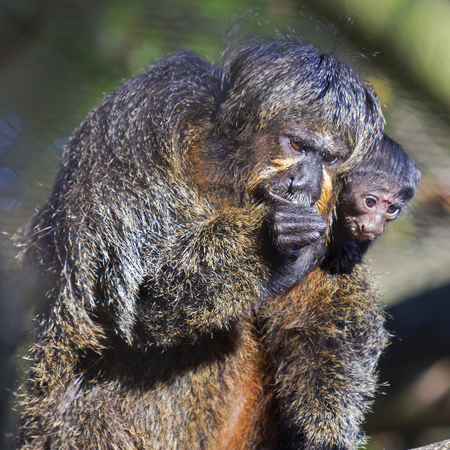 ITUPE, a young white-faced saki