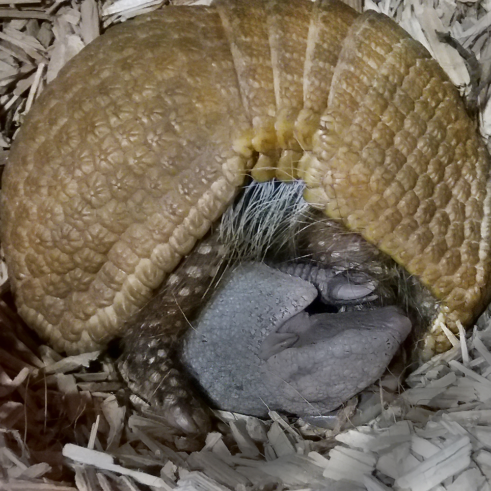 MICHI, a southern three banded armadillo