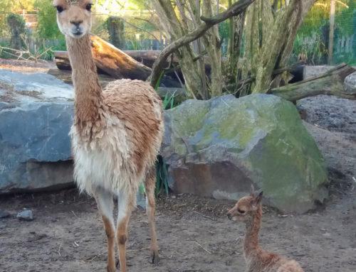 Aymara, une vigogne