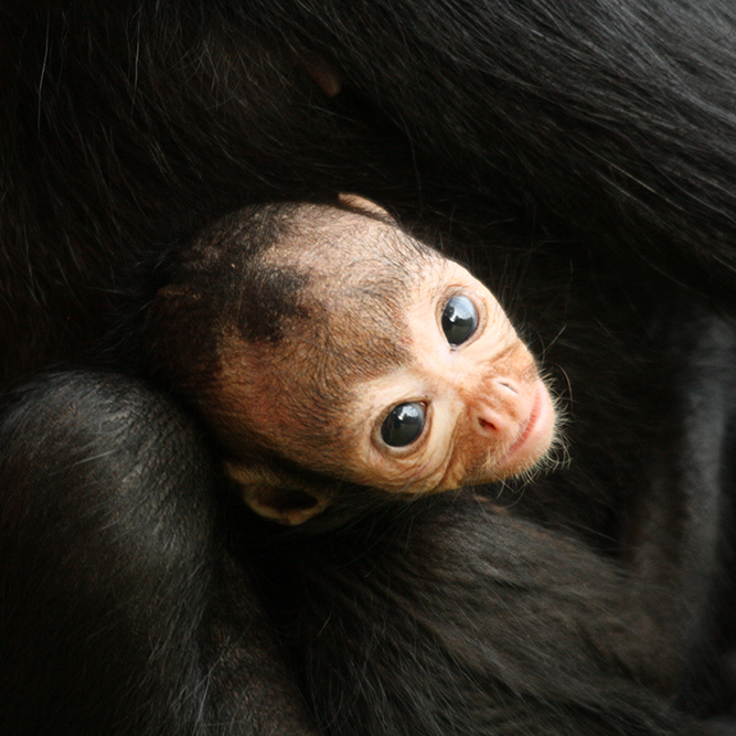 Andine, a Colombian spider monkey