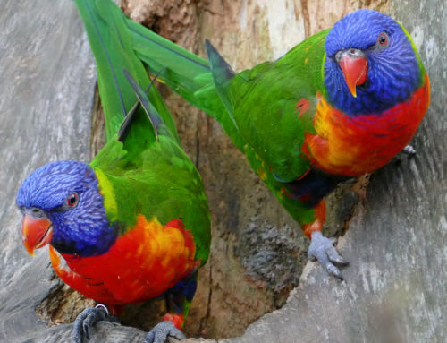 11 rainbow lorikeets