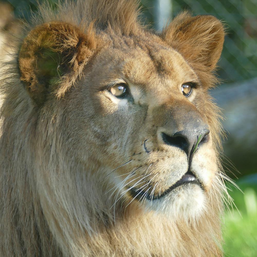 Baqir, un lion de l'Atlas