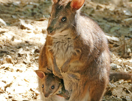 Kowau and Kai, two Parma wallabies