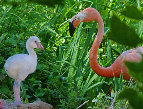 A Cuban flamingo