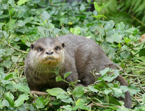 Ping, an Asian otter