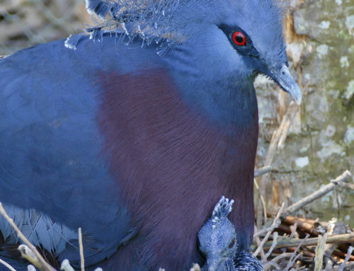 A Victorian crowned pigeon