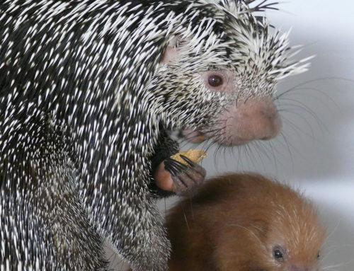 Caïpi, a prehensile-tailed porcupin