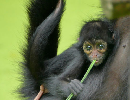 Leyva, a Colombian spider monkey
