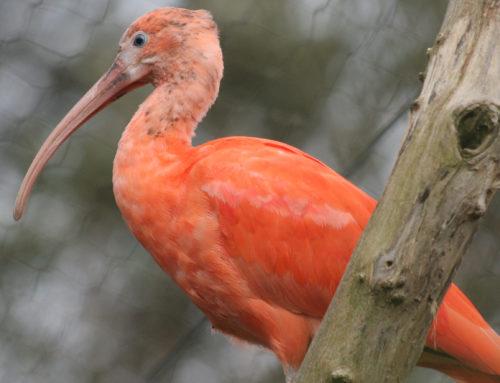 Deux ibis rouges