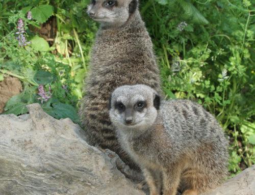 Arrivée de deux suricates