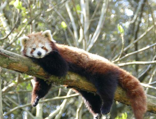 Arrivée de Marich, un panda roux